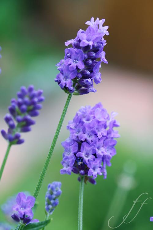 fiori di lavanda tutte le offerte cascare a fagiolo